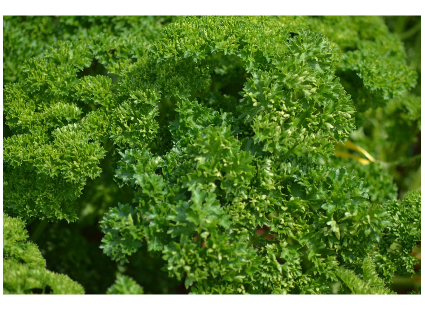 5000 Seeds Parsley Champion Moss Curled Vegetable