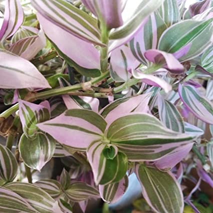 Growing Wandering Jew As An Outdoor Plant