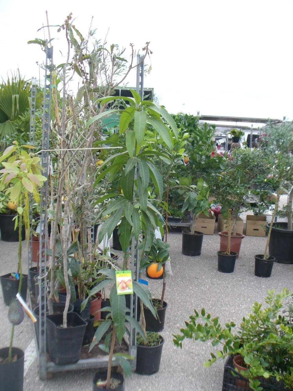 Árbol de Mango - planta - Maceta tubo - Altura aprox. 1, 50m ...