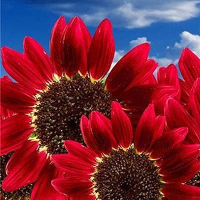 15 Pcs/30 Pcs Red Sunflower Rare Flower Seeds Annual Decor Organic Helianthus - 30pcs : Garden & Outdoor