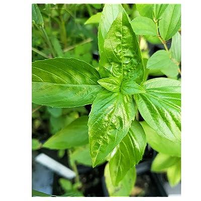 Cutdek App 100 Seeds Basil Genovese Garden Herb Wholesome Aromatic Dark Green Herb Gardening Spectacular Pesto! Indoors or Out Overstock Price : Garden & Outdoor