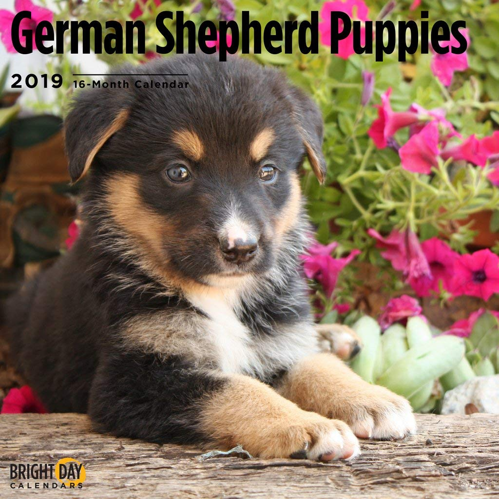 Amazoncom German Shepherd Puppies 2019 16 Month Wall Calendar 12