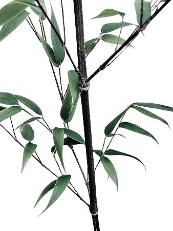 Schwarzer Bambus Phyllostachys Nigra Frostharter Winterharter