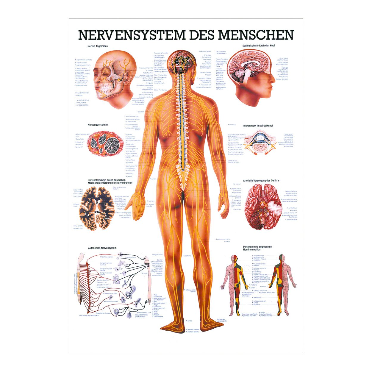 Nervensystem Mini-Poster Anatomie 34x24 cm medizinische Lehrmittel ...