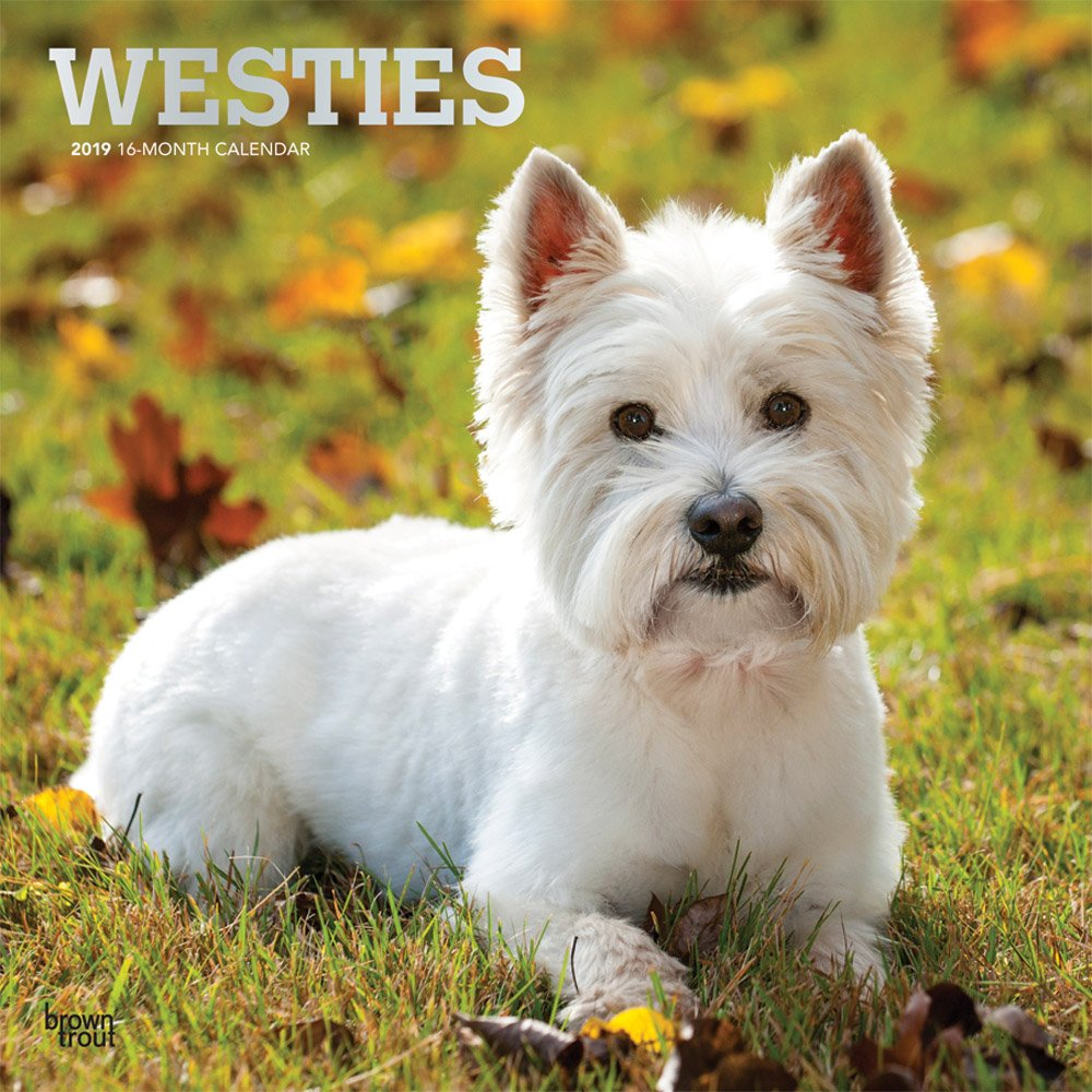 West Highland White Terriers 2019 Square Wall Calendar Calendar – Wall Calendar, 1 Sep 2018 BrownTrout 1975400151 Animal Care Pets