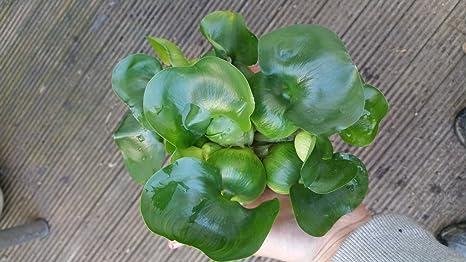 3 XXL Wasserhyazinthe Schwimmpflanze für Gartenteich: Amazon.de ...
