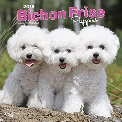 Bichon Frise Breeders In Ct