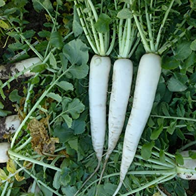 COOL BEANS N SPROUTS - Radish Seeds, Mooli Accord Radish, Radish Seeds, 200 Seeds per pack, Organic, NON-GMO, COOL BEANS N SPROUTS : Garden & Outdoor