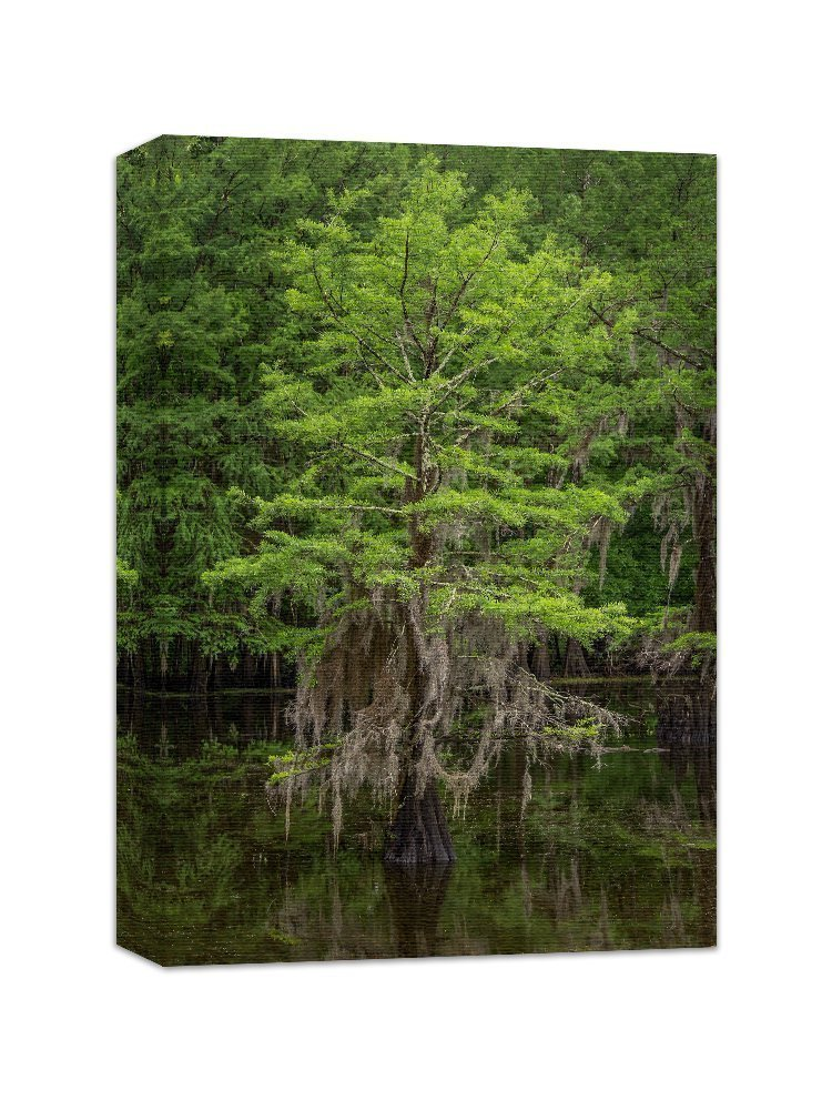 Tree Wall Art Nature Photography Canvas Gallery Wrap Print 'Spring Cypress Tree'