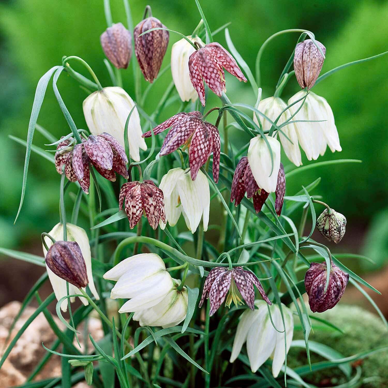latest styles Woodland bulbs® 20 x Fritillaria Bulbs 'Meleagris ...