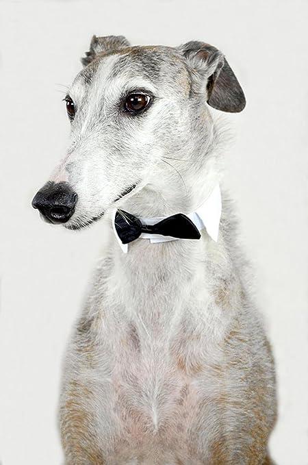 LAMINADO 24 x 36 Póster: perro ANIMAL Galgo español Greyhound Fly ...