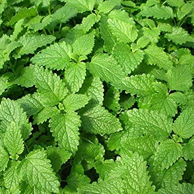 Yaoyodd19 50Pcs Mint Lemon Basil Seeds Park Non-GMO Pollinated Annual Herb Flower Bonsai - Mint Seeds : Garden & Outdoor
