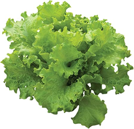 NON-GMO FREE SHIPPING! 1000 BLACK SEEDED SIMPSON LETTUCE SEEDS 2020
