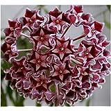 Amazon Com Hindu Indian Rope Plant Hoya Exotic Yet