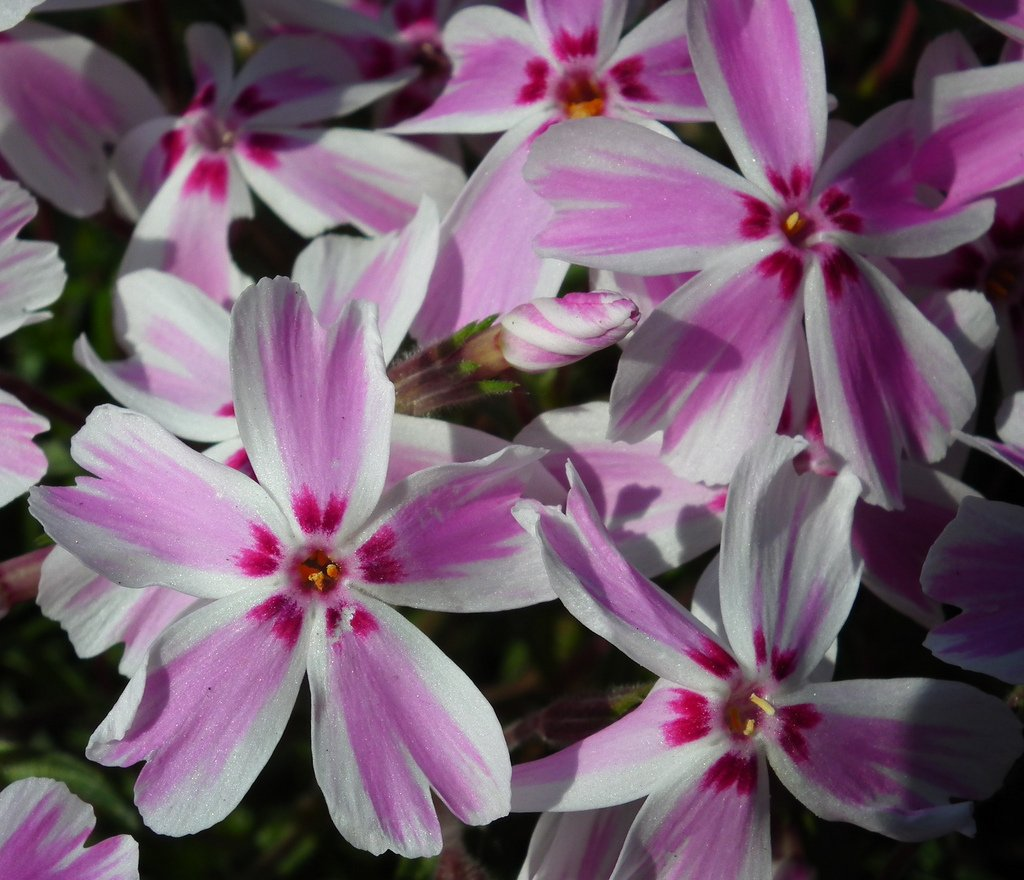 Candy Stripes Creeping Phlox Perennial - Quart Pot