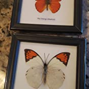 Appias nero Unique Taxidermy Collectables The Orange Albatross Butterfly | Framed Beautiful Butterfly Wall Decor 4.75 x 4.75 in.
