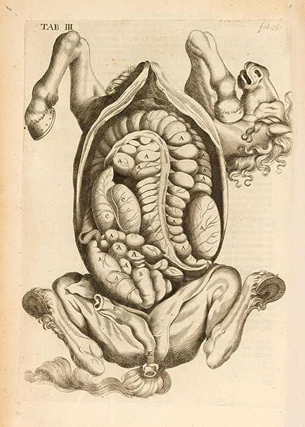 Vintage Caballo de anatomía DISECTED embarazadas Mare de la anatomía ...