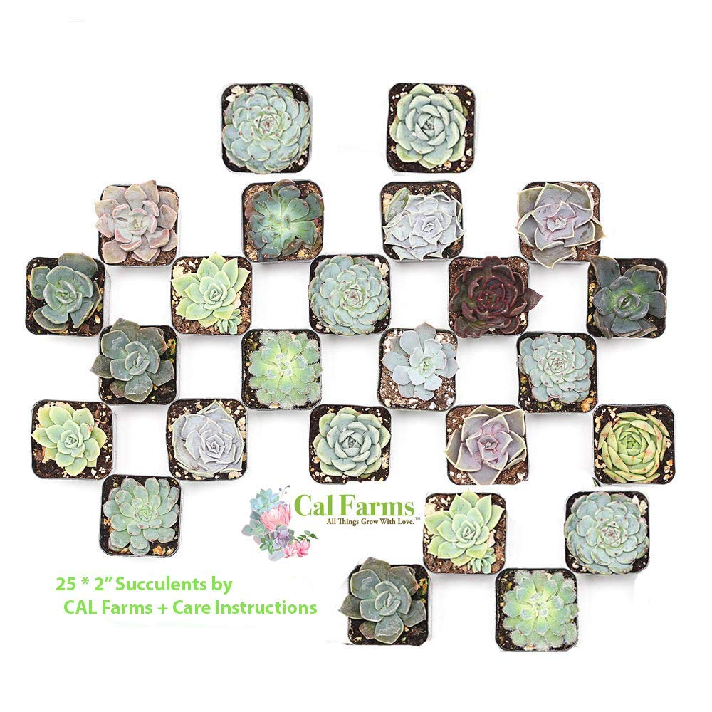 CAL Farms 2'' Rosettes Succulents - for Weddings, Private Parties, Gifts, Party Favors, Gardening and Special Events (Pack of 25) by CAL Farms