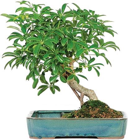 5 Years Old 8 To 12 Tall Brussels Live Hawaiian Umbrella Indoor Bonsai Tree In Water Pot Plants Seeds Bulbs Patio Lawn Garden