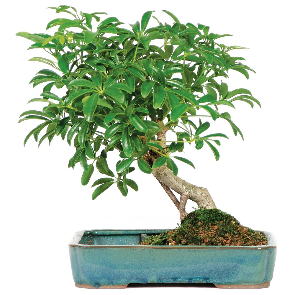 Brussel's Live Hawaiian Umbrella Indoor Bonsai Tree in Water Pot - 5 Years Old; 8'' to 12'' Tall by Brussel's Bonsai