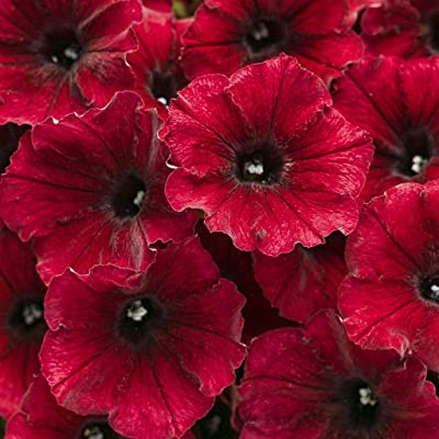 Supertunia (Petunia Hybrid) Premium Annual Plants (4-Pack), Black Cherry Color, 4.33″ Pot : Garden & Outdoor
