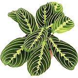 Lemon Lime Prayer Plant - Maranta - Rare Variety 4'' from California Tropicals