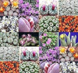 Conophytum species mix 50+ seeds