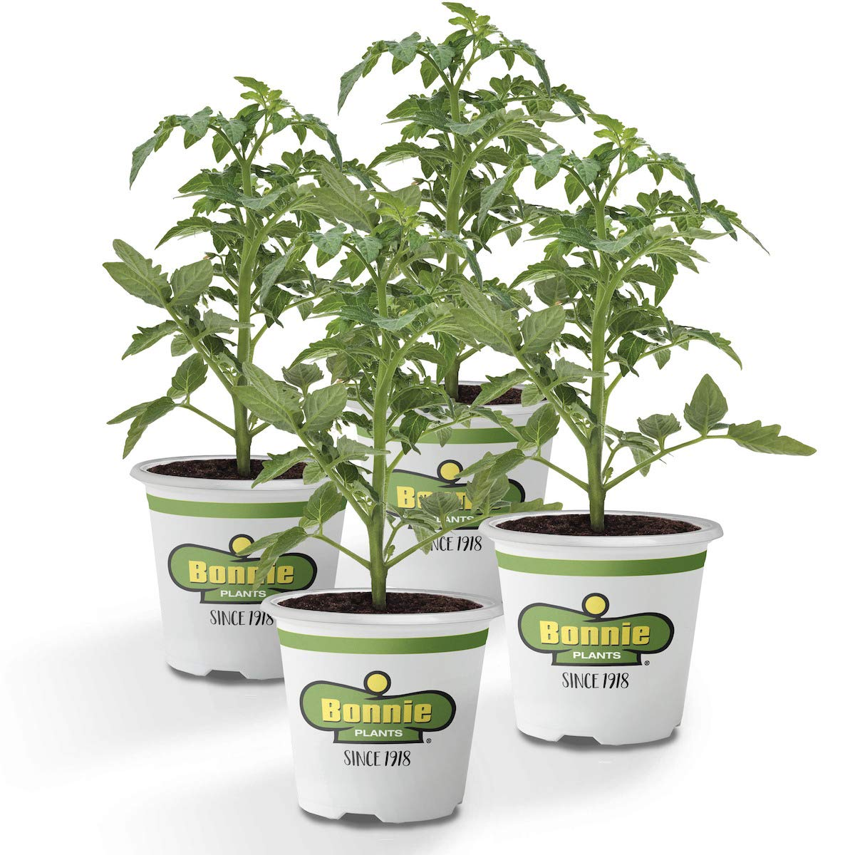 Bonnie Plants Husky Cherry Red Tomato Live Vegetable Plants - 4 Pack | Non-GMO | Bite Sized | Disease Resistant