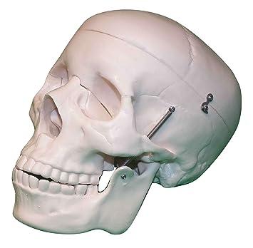 Menschlicher Schädel – Life Größe Anatomie Modell: Amazon.de ...