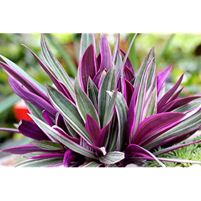 """Rhoeo discolor aka Tradescantia spathacea Boat Lily Oyster Plant Fit 4"""" Pot : Garden & Outdoor"""