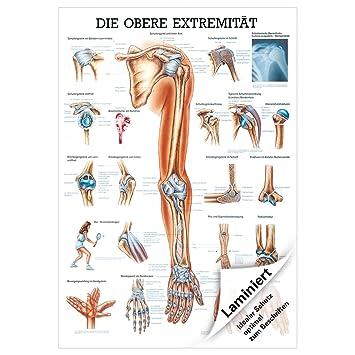 Obere Extremität Lehrtafel Anatomie 100x70 cm medizinische ...