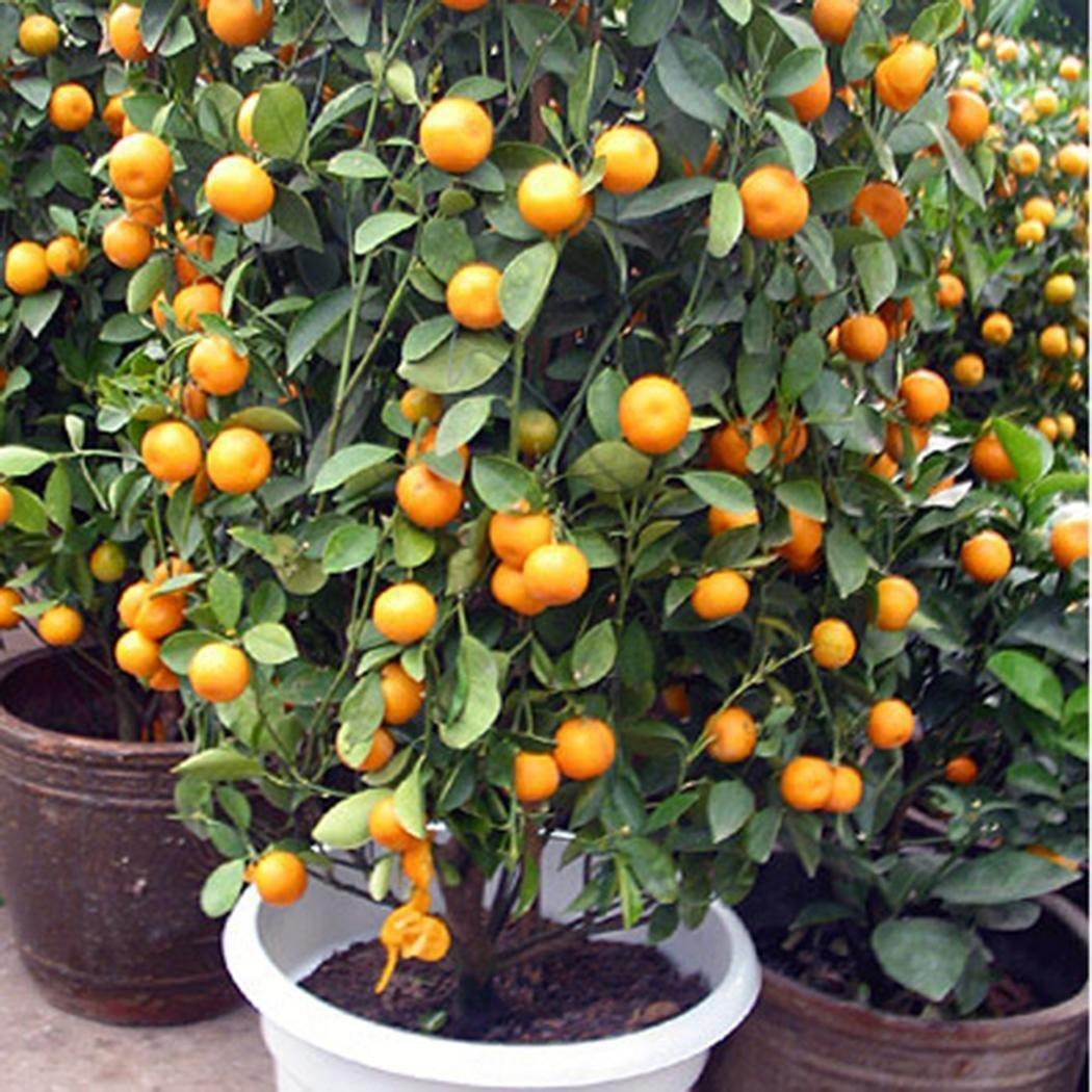 mymotto 20PCS semi giardino balcone frutto Piante délicieuses semi di Kumquat Arancione