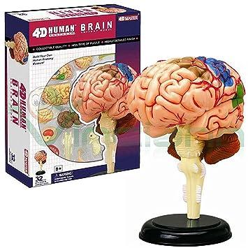 Modelo 3D de la estructura del cerebro humano anatomía humana ...