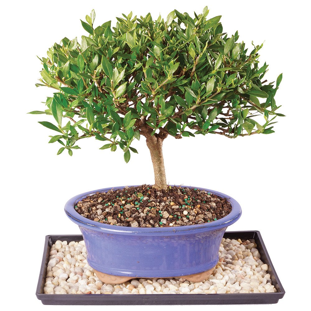 Brussel's Live Gardenia Outdoor Bonsai Tree - 7 Years Old; 8'' to 10'' Tall with Decorative Container, Humidity Tray & Deco Rock by Brussel's Bonsai