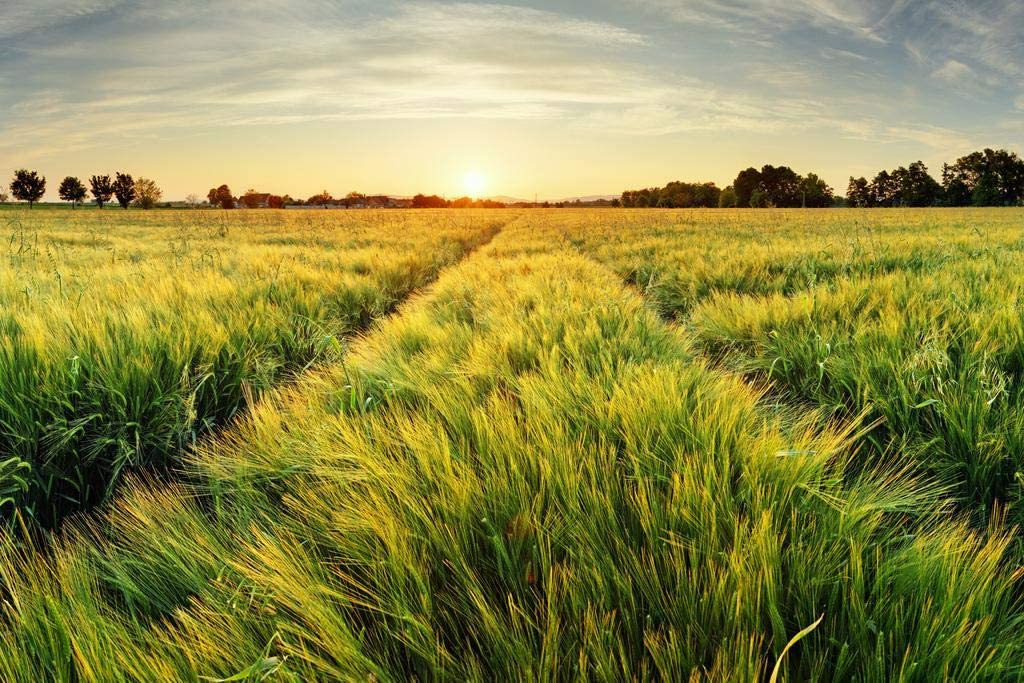 Springtime Rural Farm Landscape with Wheat Field at Sunset Cool Wall Decor Art Print Poster 36x24