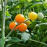 Super Sweet SunSugar Tomato 4 Live Plants - Very Flavorful!
