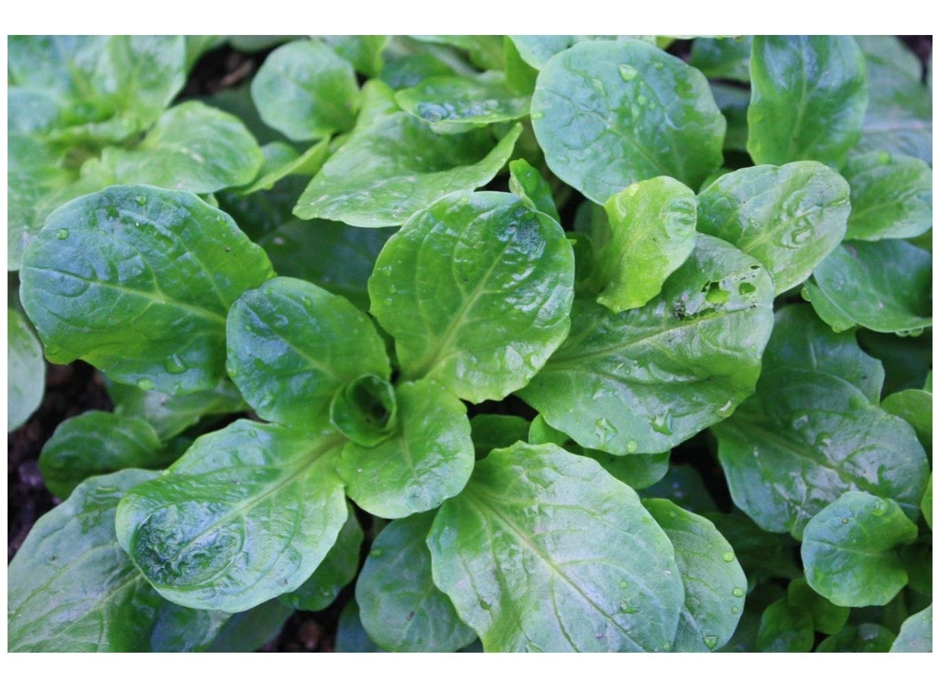 Lambs Lettuce Corn Salad Mache 1300 Finest Seeds