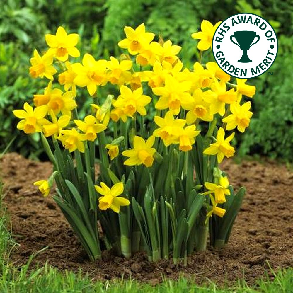 Mini Tete-a-Tete Bulbs by Thompson /& Morgan Low Maintenance and Easy to Grow Spring Garden Plant Narcissus Mini Daffodil Bulbs Hardy Spring Flowering with Bright Yellow Flowers 50 x Daffodil