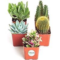 Cactus/Succulent Terrarium/Fairy Garden Plants - 5 Different Plants - 1.75 Pots by Hirts: Cacti & Succulents