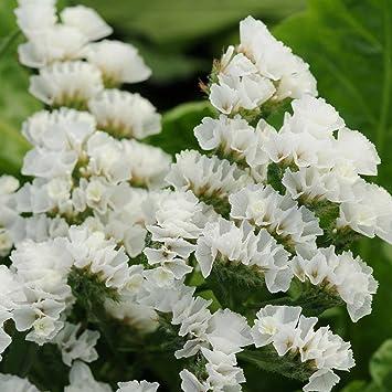 Amazon statice flower garden seeds qis series white 1000 statice flower garden seeds qis series white 1000 seeds annual flower gardening mightylinksfo