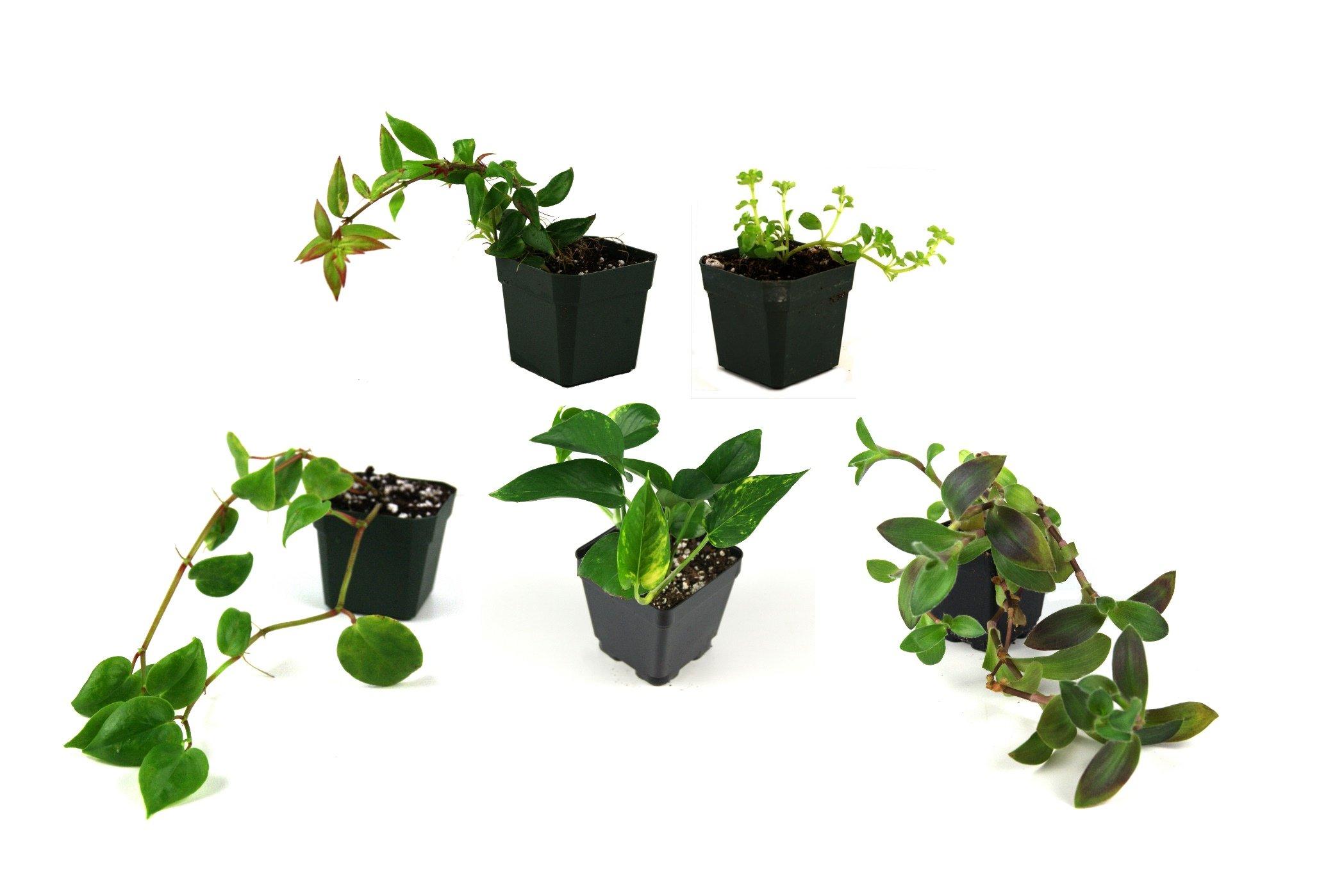 Vine Bundle (5 plants) by Josh's Frogs (Image #1)
