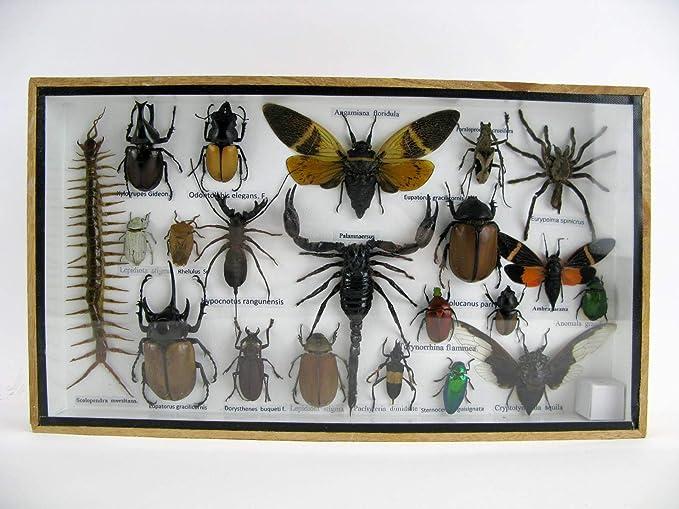 asiahouse24 - Exótico Escarabajo Gigante, Insectos y cangrejos en ...