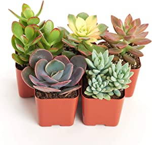 Shop Succulents Assorted Live Plants | Hand Selected for Health, Size | Pack of Succulents