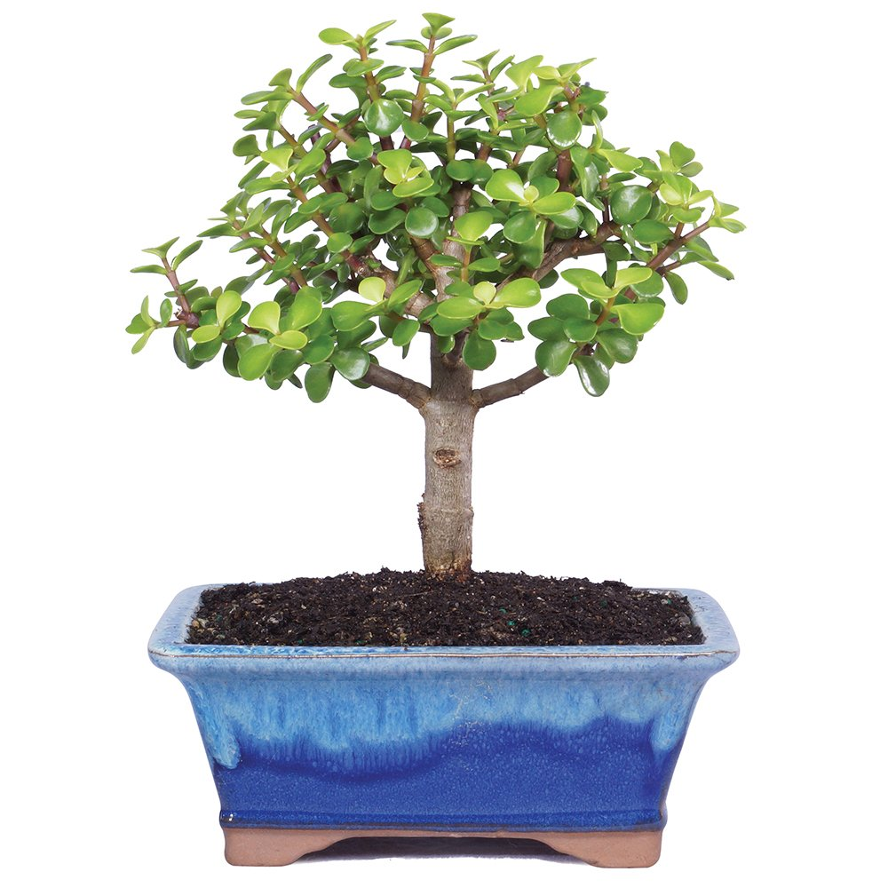 Brussel's Live Dwarf Jade Indoor Bonsai Tree - 5 Years Old; 6'' to 8'' Tall with Decorative Container