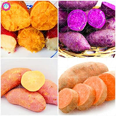 Shopmeeko 100pcs Purple Sweet Potatoes Ipomoea Batatas Delicious Ingredients Organic Non-GMO Vegetable for Yard& Farm Planting: Mix : Garden & Outdoor