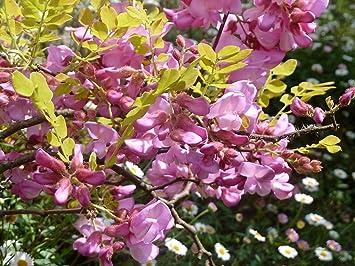 Amazon 15 Rose Locust Pink Acacia Flower Robinia Hispida