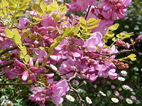 Amazon 15 rose locust pink acacia flower robinia hispida 15 rose locust pink acacia flower robinia hispida fertilis tree shrub seeds mightylinksfo