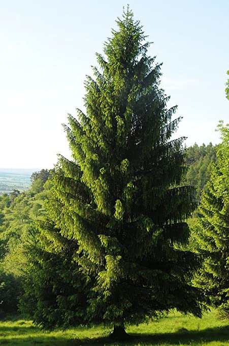 Norway Spruce Picea Abies Tree 30 Seeds Evergreen Fast