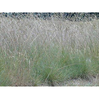1/4 Pound of Roemer's Fescue (Seeds) : Garden & Outdoor