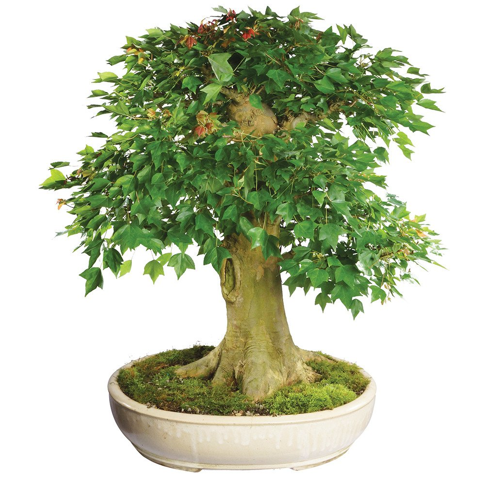 Brussel's Bonsai ST4915TM-A Trident Maple Specimen Bonsai